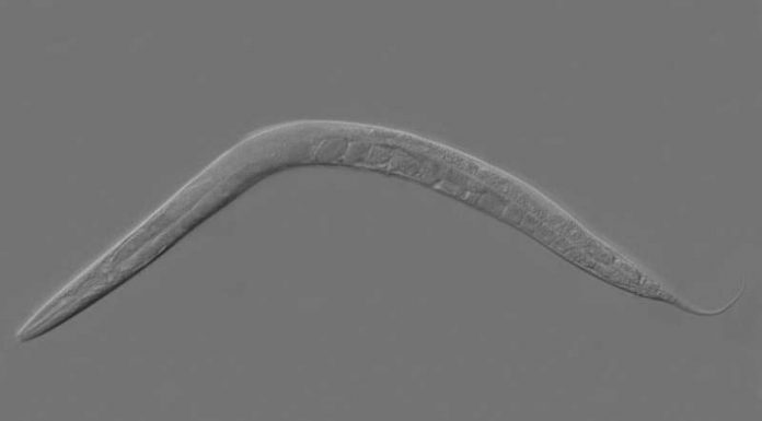 Report: Antioxidant reverses BPD-induced fertility damage in worms