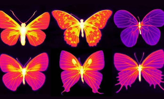 Study: Beating the heat in the living wings of butterflies