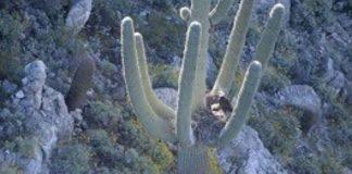 Bald eagles found nesting in arms of Arizona saguaro