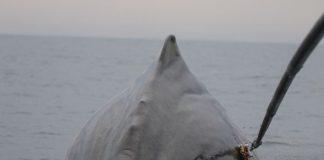 Study: New sonar still deters sperm whales feeding