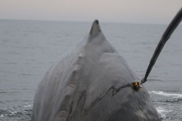 Study: New sonar still deters sperm whales feeding