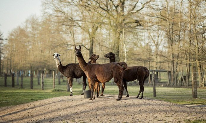 Antibodies from llamas could help in fight against COVID-19, Researchers Say