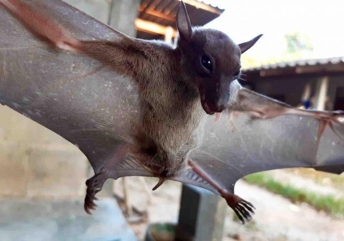 Bat-virus adaptation may explain species spillover, Says New Study