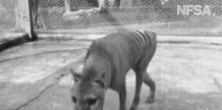 Rare footage shows extinct Tasmanian tiger from 1935 in Australia (Video)
