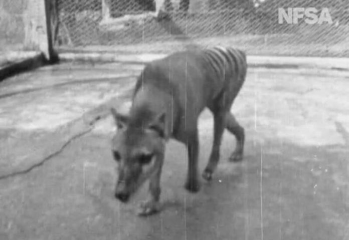 Rare footage shows extinct Tasmanian tiger from 1935 in Australia (Video)