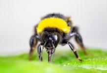 Report: Bumblebees speed up flowering