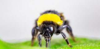 Report: Bumblebees speed up flowering