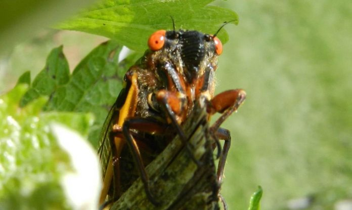 Study: What's that noise? The 17-year cicadas are back