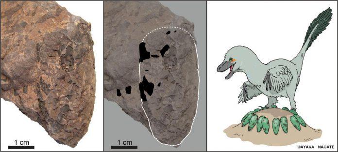 Tiny Japanese dinosaur eggs help unscramble Cretaceous ecosystem