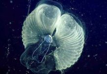 Researchers learn how tiny critters make ocean 'snot palaces'