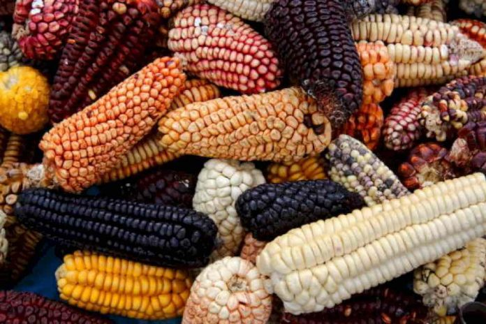 Scientists document the first use of maize in Mesoamerica