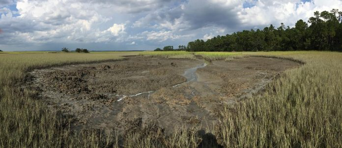 Burrowing crabs reshaping salt marshes, with climate change to blame