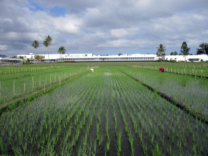 Breeding new rice varieties will help farmers in Asia