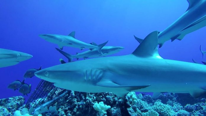 Dramatic decline in reef sharks, says new research