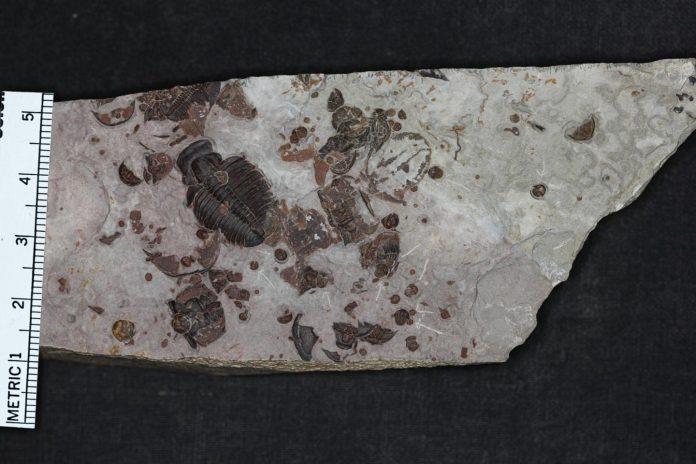 Growing up trilobite | EurekAlert! Science News