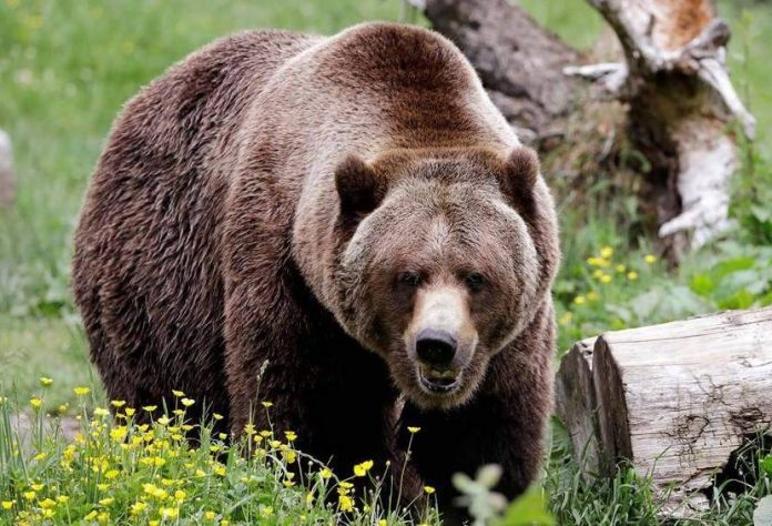 Humans driving grizzlies into the dark, Says New Study