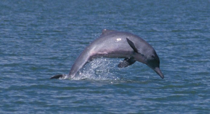 Research finds rare dolphins are thriving in waters off Townsville