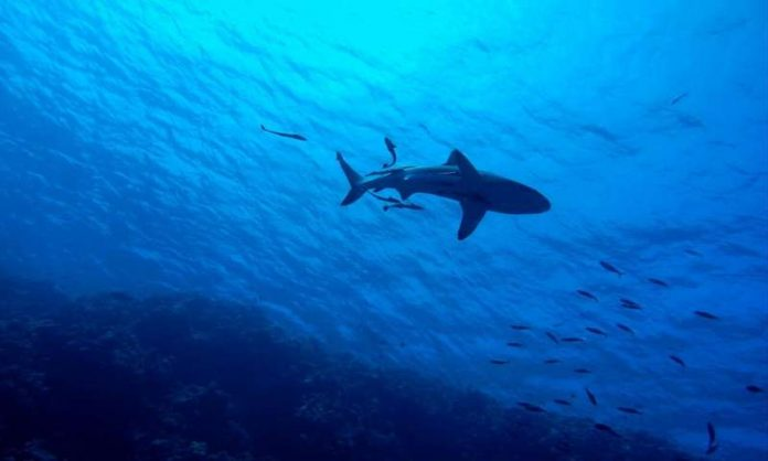 Sharks 'Functionally Extinct' At 20 percent Of World's Coral Reefs (Study)