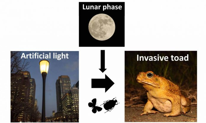 Light pollution gives invasive cane toads a belly full of grub