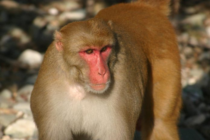 Research finds older primates father far fewer babies