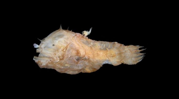 Study: Anglerfish fuse bodies with partners while mating