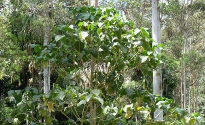 Researchers discovered stinging trees in Australia that secrets scorpion-like venom