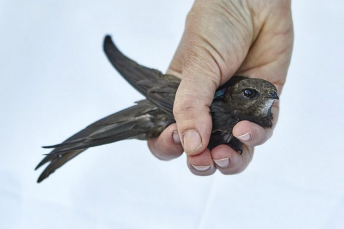 Study: Rare pattern observed in migrating common swifts