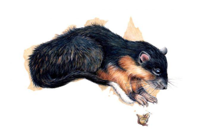 Study: Why rats would win Australian survivor