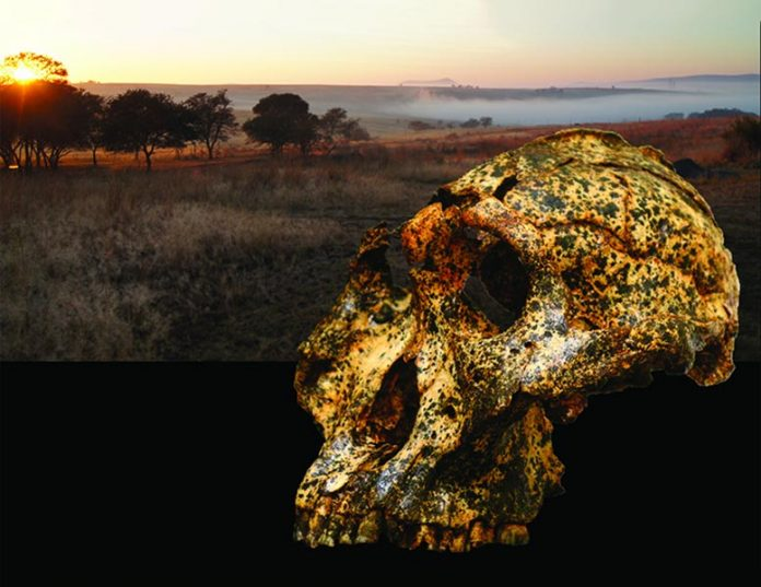 Skull of Paranthropus robustus Suggests Climate Change Drove Rapid Changes (Study)