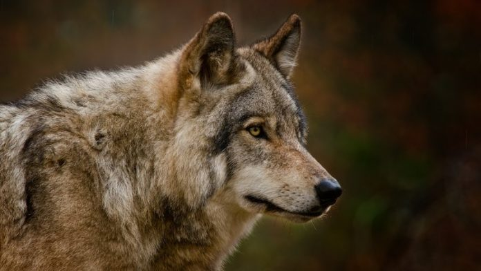 Dire wolves genes show they weren't really wolves, says new research