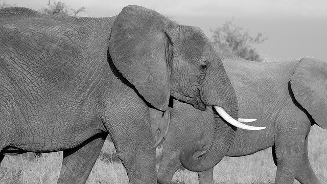Elephant Ivory Continues To Be Disguised And Sold On EBay (Study)