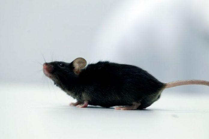 Paralyzed mice walk again after cytokine treatment (Study)