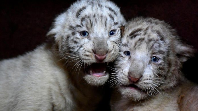 Pakistan: Two white tiger cubs in zoo die of suspected COVID infection, zoo officials say
