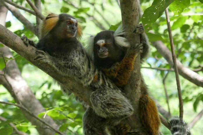 Estudio: los monos titíes observan y comprenden conversaciones entre otros titíes