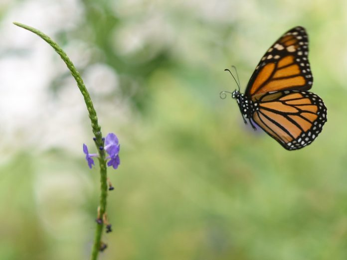 Climate change: Monarch Butterfly Population In Mexico Drops By More Than A Quarter