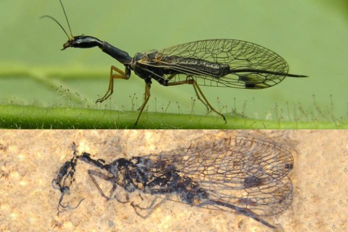 Fossil discovery deepens snakefly mystery, Says New Study