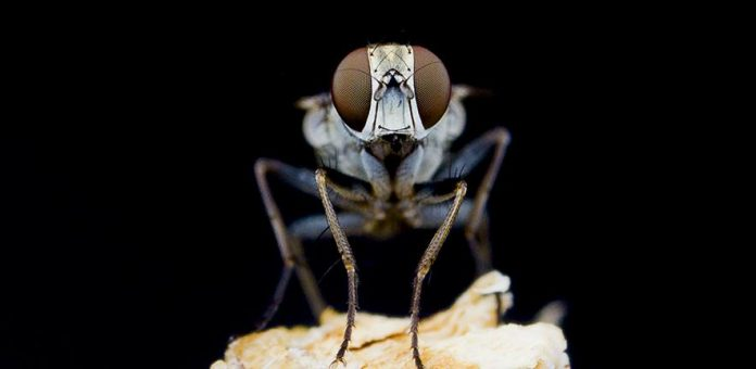 Research: Dive bombing Killer flies are so fast they lose steering control