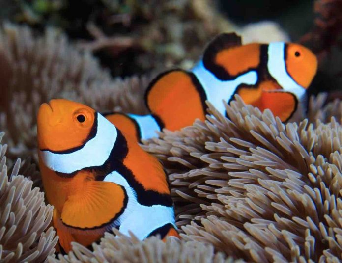 Research: How do clownfish earn their stripes?