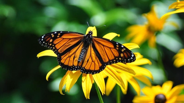 Research suggests neonic pesticides harming monarch butterfly eggs