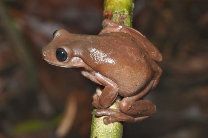 Researchers discover new 'chocolate frog' in swamp in New Guinea